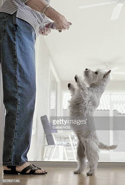 Dog Standing on Hind Legs to Receive Treat