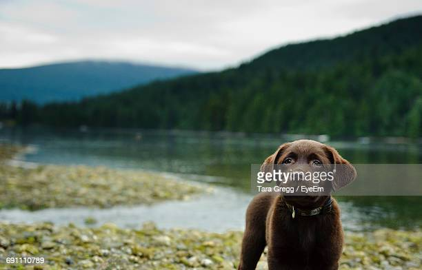 dog standing on pebbles by lake with trees - chocolate labrador stock pictures, royalty-free photos & images
