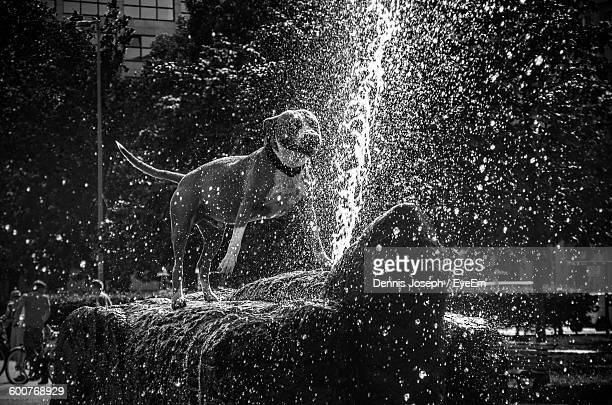 Dog Standing On Rock By Fountain