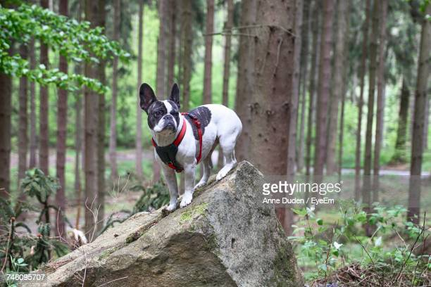 Dog Standing On Rock In Forest