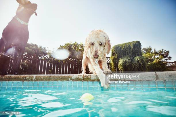Dog standing on side of backyard pool trying to reach ball floating in pool