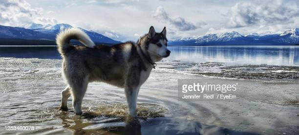 dog standing on snow covered mountain against sky - husky dog stock pictures, royalty-free photos & images