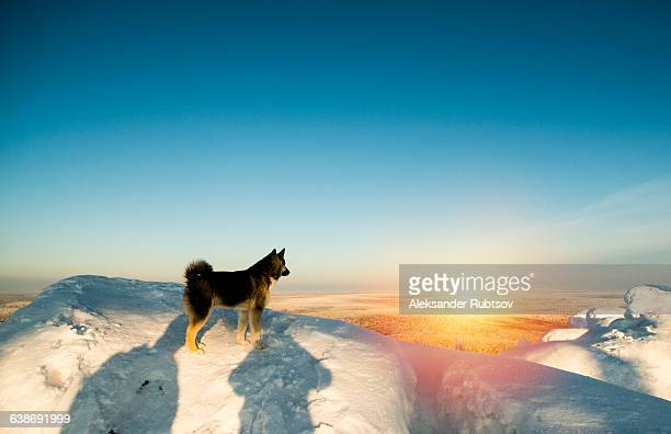 Dog standing on snowy hill, sunset, Russia