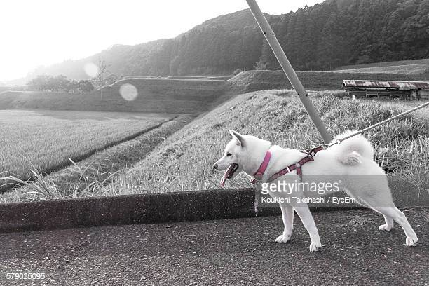 Dog Standing On Street By Field