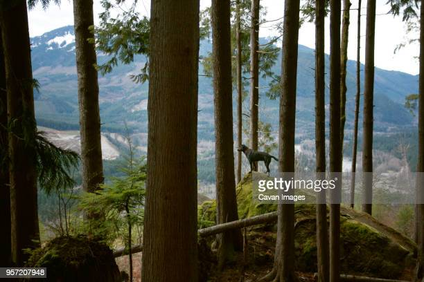 dog standing on top of moss covered rock in forest - americas next top dog stock pictures, royalty-free photos & images