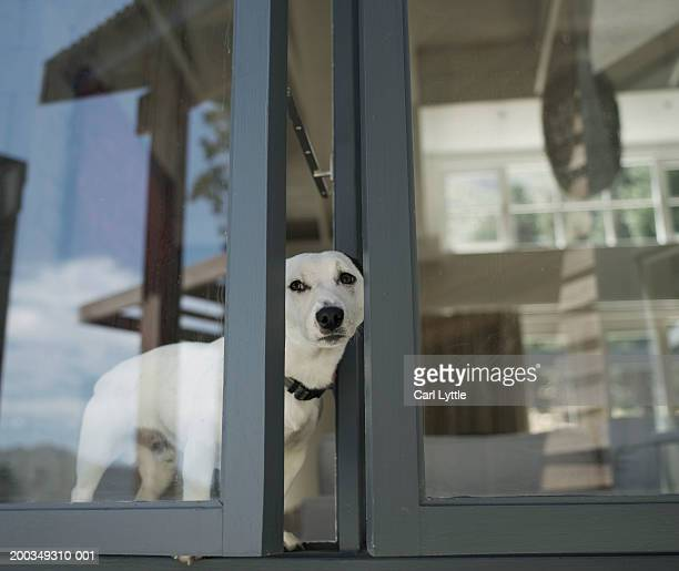 Dog standing on window ledge looking through open window