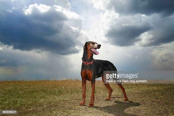 dog standing proud with stormy skies behind - doberman foto e immagini stock