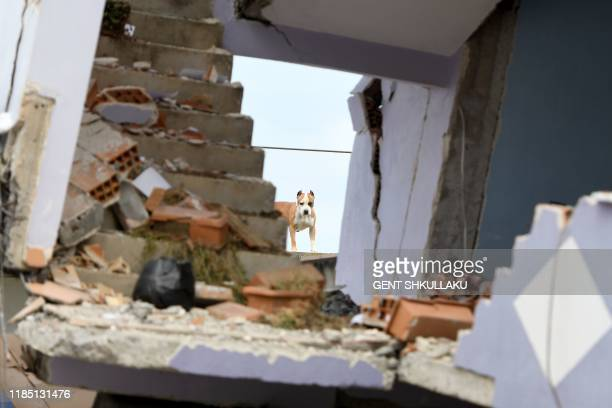 Dog stands behind a collapsed building on November 28 in Durres, after an earthquake hit Albania. - Albanian rescuers dug through rubble as desperate...