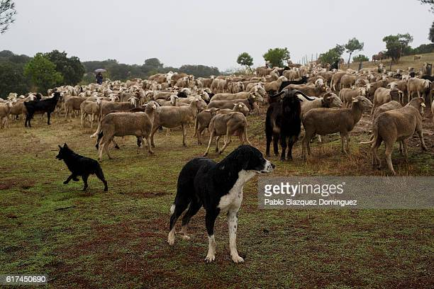 A dog stands by a flock of sheep as they are mustered through the Casa de Campo during the annual livestock migration festival on October 23 2016 in...