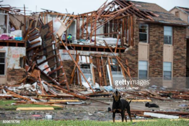 A dog stands guard over a section of the Saltgrass Estates apartments Saturday afternoon after Hurricane Harvey destroyed the complex