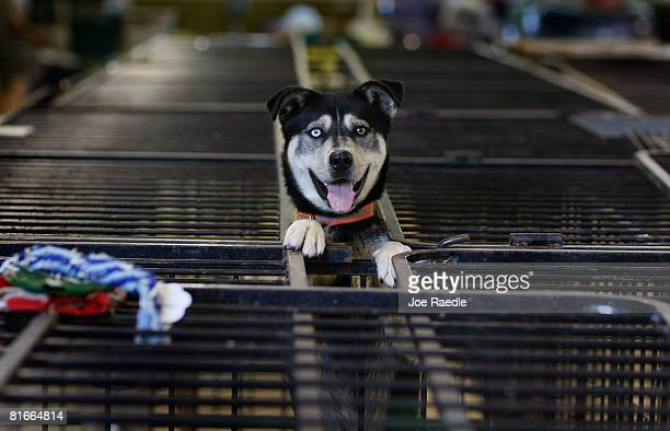 Dog stands in a cage after being dropped off at the animal shelter at the Animal Health Technology Center at Kirkwood Community College June 22, 2008...