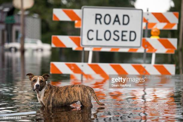 Dog stands in floodwaters from the Waccamaw River caused by Hurricane Florence on September 26, 2018 in Bucksport, South Carolina. Nearly two weeks...