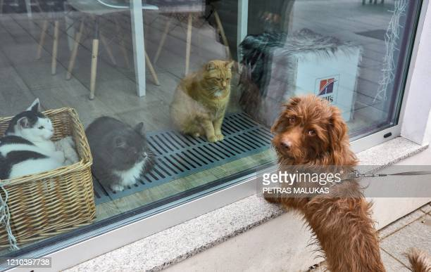 """Dog stands in front of cats resting behind the window of the """"Cat Cafe"""" which remains closed in Vilnius, Lithuania on April 19 amid the new..."""