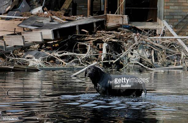 A dog stands in the water near a home that was destroyed when Hurricane Katrina hit September 15 2005 in New Orleans Louisiana The toxic nature of...