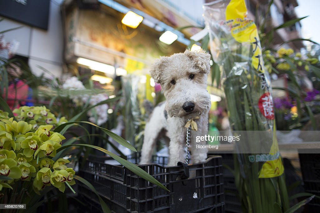 A dog stands on a crate next to flowers displayed for sale for the Lunar New Year at a flower market in the Mongkok district of Hong Kong, China, on Wednesday, Jan. 29, 2014. The citys financial markets will close early on Jan. 30 for the Chinese New Year holidays and resume trading on Feb. 4, while those in the mainland will be shut from tomorrow through Feb. 6. Photographer: Brent Lewin/Bloomberg via Getty Images