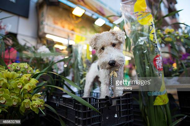 A dog stands on a crate next to flowers displayed for sale for the Lunar New Year at a flower market in the Mongkok district of Hong Kong China on...