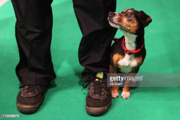 A dog stands with its handler before entering the main arena on the final day of the annual Crufts dog show at the National Exhibition Centre on...
