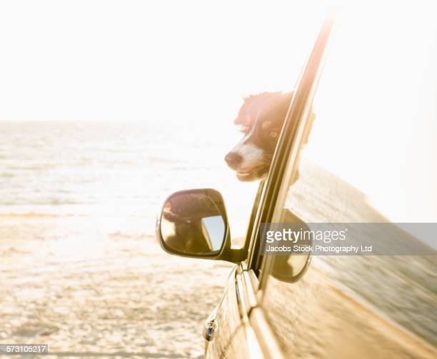 Dog sticking head out car window on beach