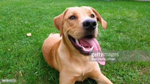 Dog sticking out tongue