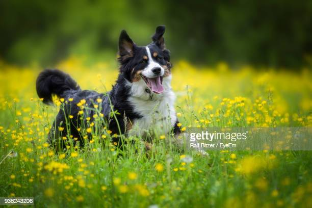 dog sticking out tongue while sitting on grassy field - border collie fotografías e imágenes de stock