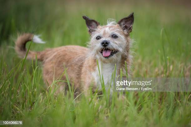 Dog Sticking Out Tongue While Standing On Grassy Field
