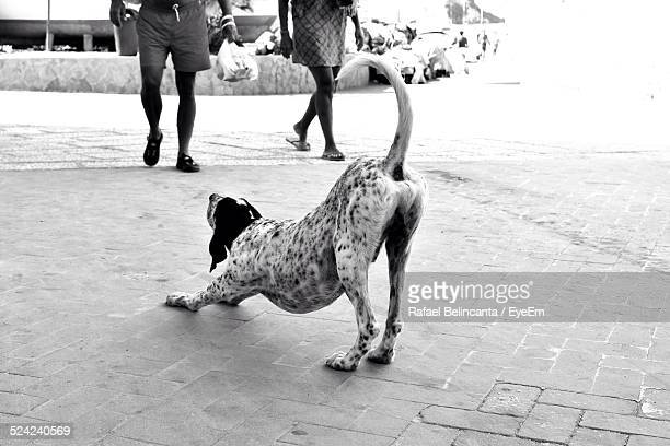 Dog Stretching On Street