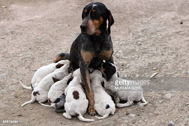 A dog suckles her puppies on February 16 2009 at Halikisla village of Kars eastern Turkey near the border with Armenia AFP PHOTO/MUSTAFA OZER