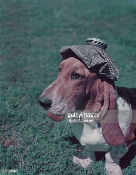 dog suffering headache  - vertebrato foto e immagini stock