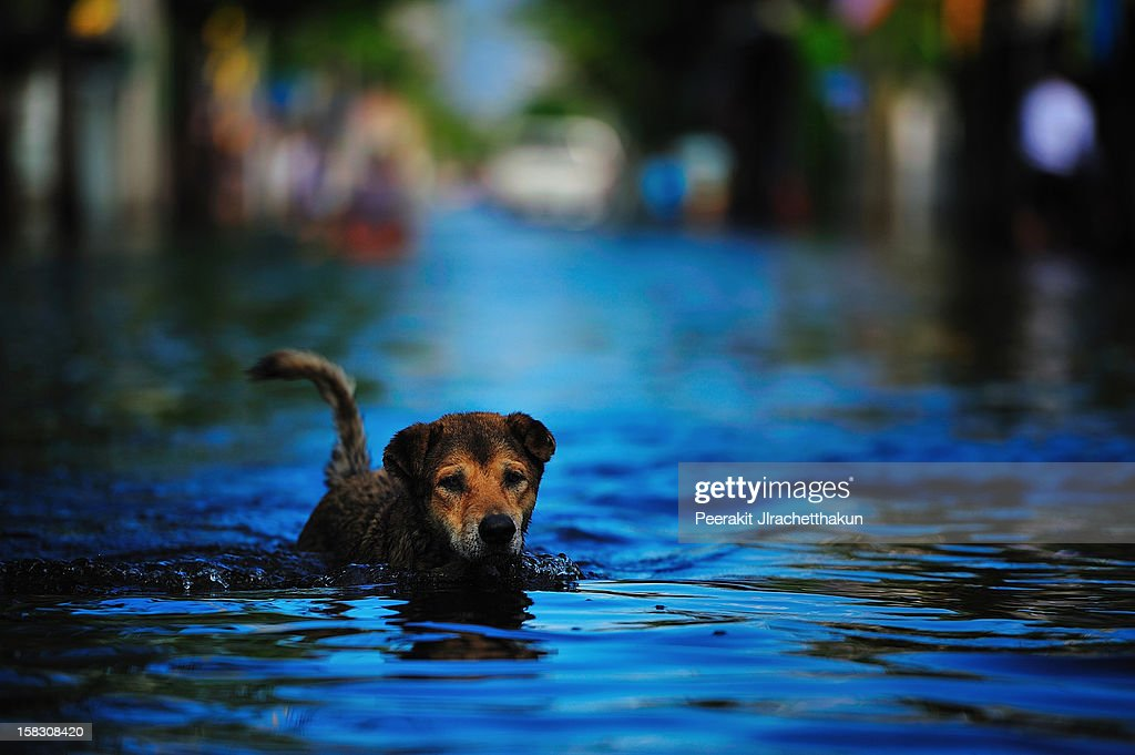 Dog swimming in flood : Stock Photo