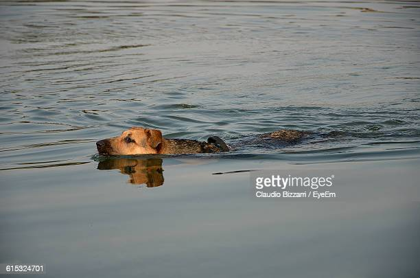 Dog Swimming In Lake