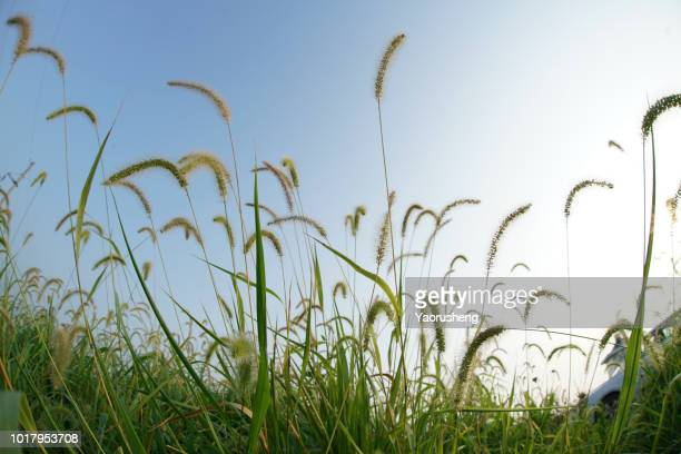 dog tail grass over the blue sky