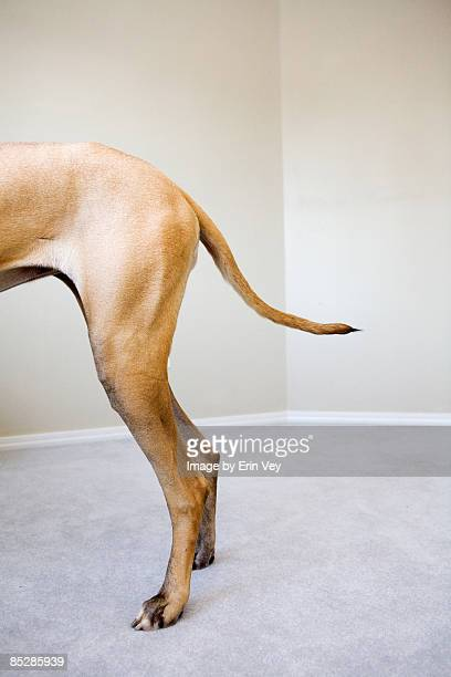 dog tail - one animal stock photos and pictures