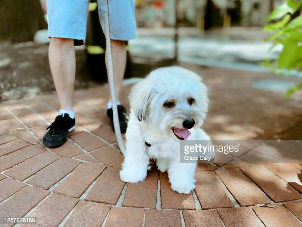 dog takes a break during walk - arlington virginia stock pictures, royalty-free photos & images