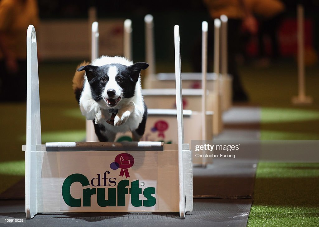 A dog takes part in the agility competition on the first day of the annual Crufts dog show for the Gun Dogs section at the National Exhibition Centre on March 10, 2011 in Birmingham, England. During this year's four-day competition nearly 22,000 dogs and their owners will vie for a variety of accolades, ultimately seeking the coveted 'Best In Show'.