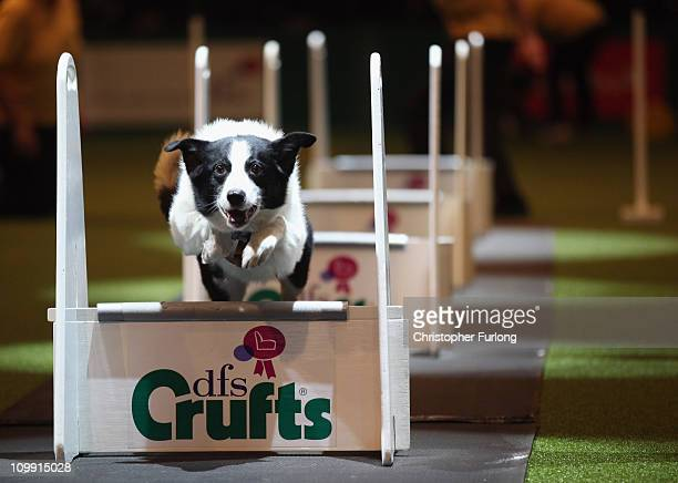 Dog takes part in the agility competition on the first day of the annual Crufts dog show for the Gun Dogs section at the National Exhibition Centre...