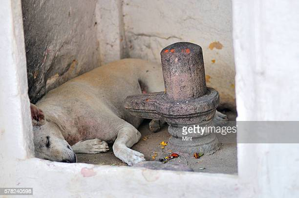 A dog taking a short nap on April 26 2016 in Varanasi India Summers in India are not for the fainthearted During the afternoons the temperature in...