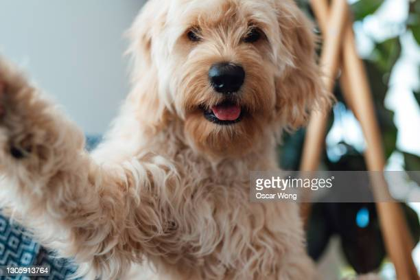 dog taking selfie at home - pets stock pictures, royalty-free photos & images