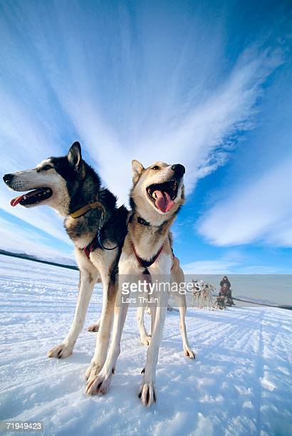 a dog team in lapland sweden. - dog sledding stock photos and pictures