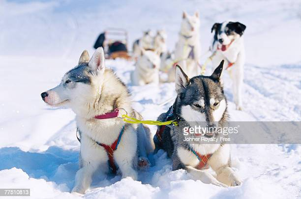 a dog team in the snow lappland sweden. - swedish lapland stock photos and pictures