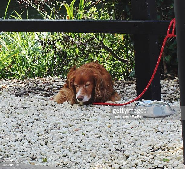 Dog Tied To Railing Resting On Pebbles In Yard
