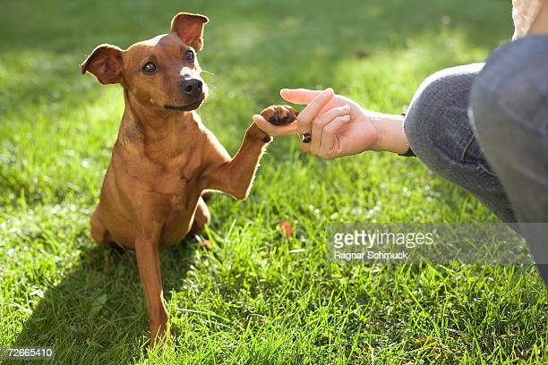 dog touching person?s hand with its paw - pinscher nano foto e immagini stock
