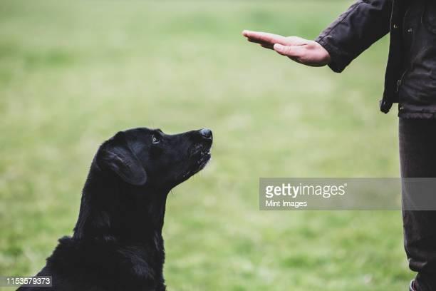 a dog trainer giving a hand command to black labrador dog. - 動物調教師 ストックフォトと画像