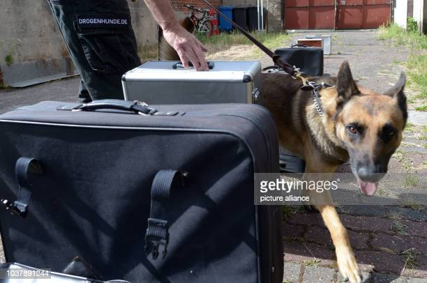Dog trainer Reiner Reuther practices searching for drugs with his Belgian shepherd dog Thor in Krefeld, Germany, 30 July 2013. He is offering the...