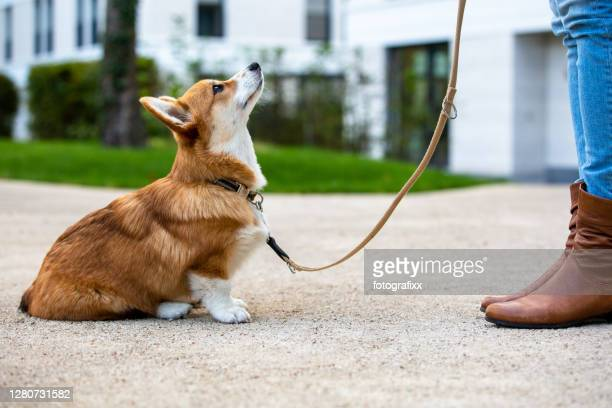 dog training: corgi puppy sit in front of a woman, looking up - obedience training stock pictures, royalty-free photos & images