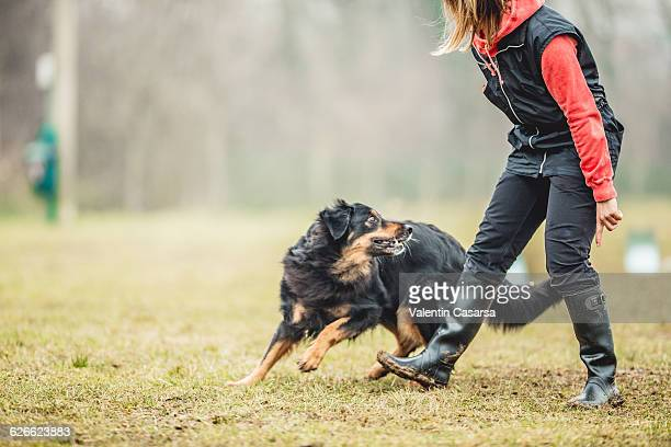 dog training - obedience training stock pictures, royalty-free photos & images