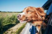 Dog travel by car