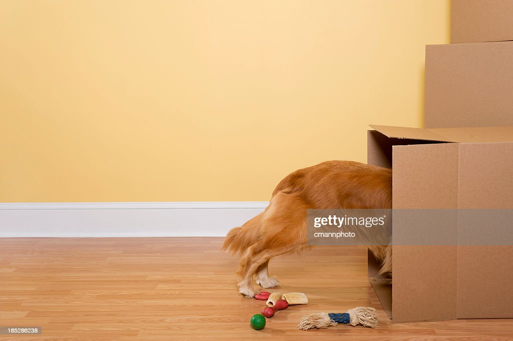 Dog Unpacking toys and bones from moving boxes in home : Stock Photo