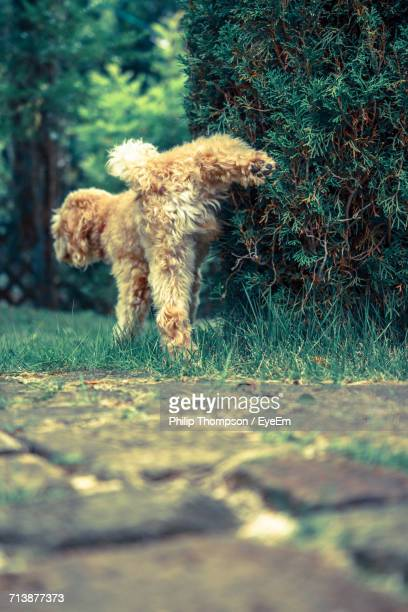 dog urinating under hedge - urinating stock pictures, royalty-free photos & images