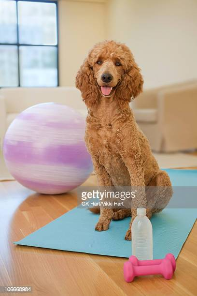 dog using fitness equipment - goldendoodle stock photos and pictures
