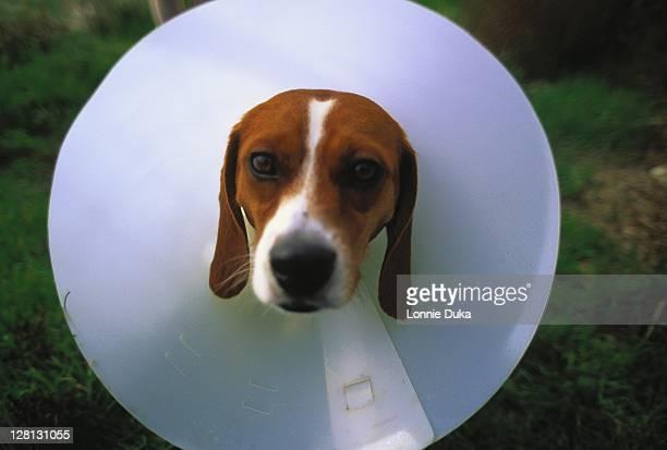 dog w/ elizabethan collar on neck - elizabethan collar fotografías e imágenes de stock